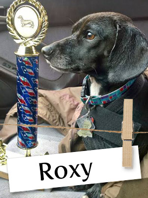 Meet Roxy, The Racing Dachshund!
