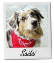 Meet Saidai: A Beautiful Red Merle Aussie (Pet of the Week)