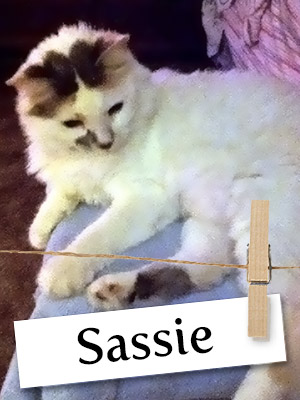 Meet Sassie, The Sweet White Calico!