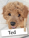 Meet Ted: The Amazing and Goofy Goldendoodle Furbaby