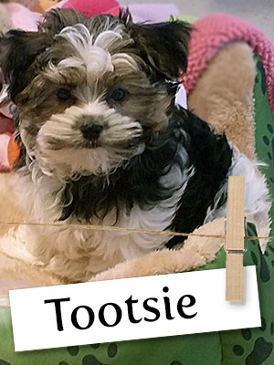 Meet Tootsie: The Malshi Puppy Who Loves People of All Ages