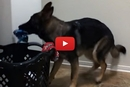 Need Some Help With Laundry? This German Shepherd Knows The Drill!