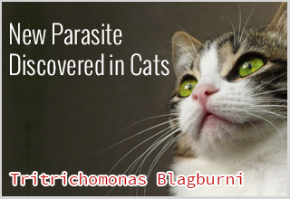 New Parasite Discovered in Cats: Tritrichomonas Blagburni