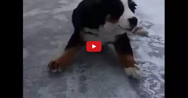 "Nothing Says ""Majestic"" Like A Bernese Mountain Dog on Ice... IN SLOW MOTION!"