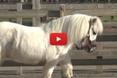Pedro Is The Shortest Horse In The Barn... Wait Until You See What The Kid's Solution Was!