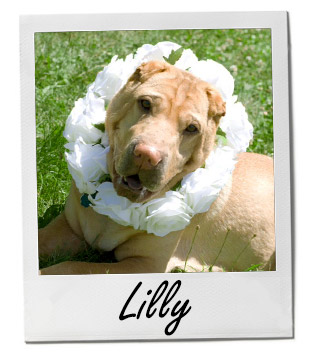 Pet of the Week: Lilly 2/2/2015