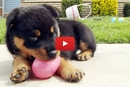 Rottweiler Puppies In An Easter Basket