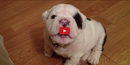 Some Puppies Are Just Brats! Watch This Adorable Bulldog Make a Big Fuss in This Short Video!!