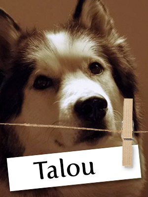 Talou Is One Malamute You Must Meet!