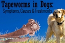 Tapeworm in Dogs: Symptoms, Causes & Treatments