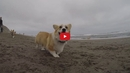 These Corgis Playing on the Beach is the Pick-me-up You Didn't Know You Needed! SO CUTE!!