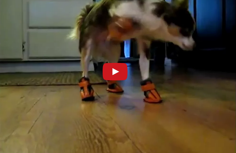 These Dogs Put Their New Shoes On And Suddenly Everything is OK at Best.