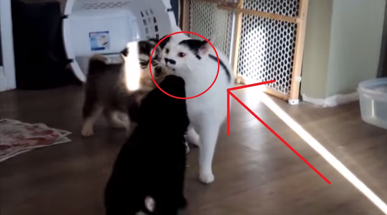These Puppies Want Their New Feline Friend to Play... But He's a Bit Reluctant! Too cute!!