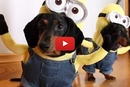 These Wiener Dogs Make the Cutest Minions Ever- I Can't Stop Smiling!