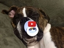 This Adorable 8-Month Old Boxer Dog Can't Fall Asleep Without Her Pacifier!