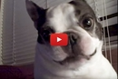 This Boston Terrier Has A Lot To Say About The Tickle Monster!