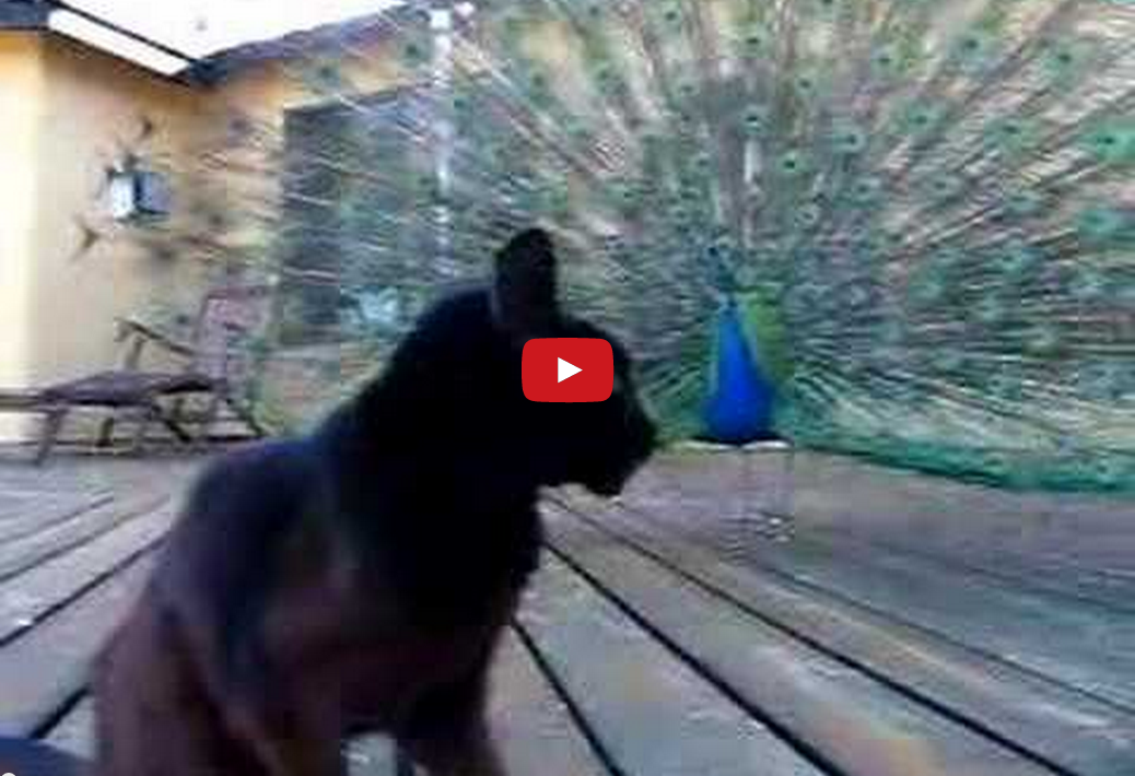 This Cat and Peacock Don't Seem to Get Along... Watch Them Meet for the First Time!!