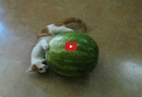 This Cat Loves Watermelon... Or Does He Hate It? Either Way- This Interaction Between Fruit and Feline is <i>Too Funny</i>!!