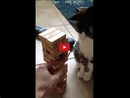 This Cat Plays Jenga Like A Pro! You Won't Believe Your Eyes!!