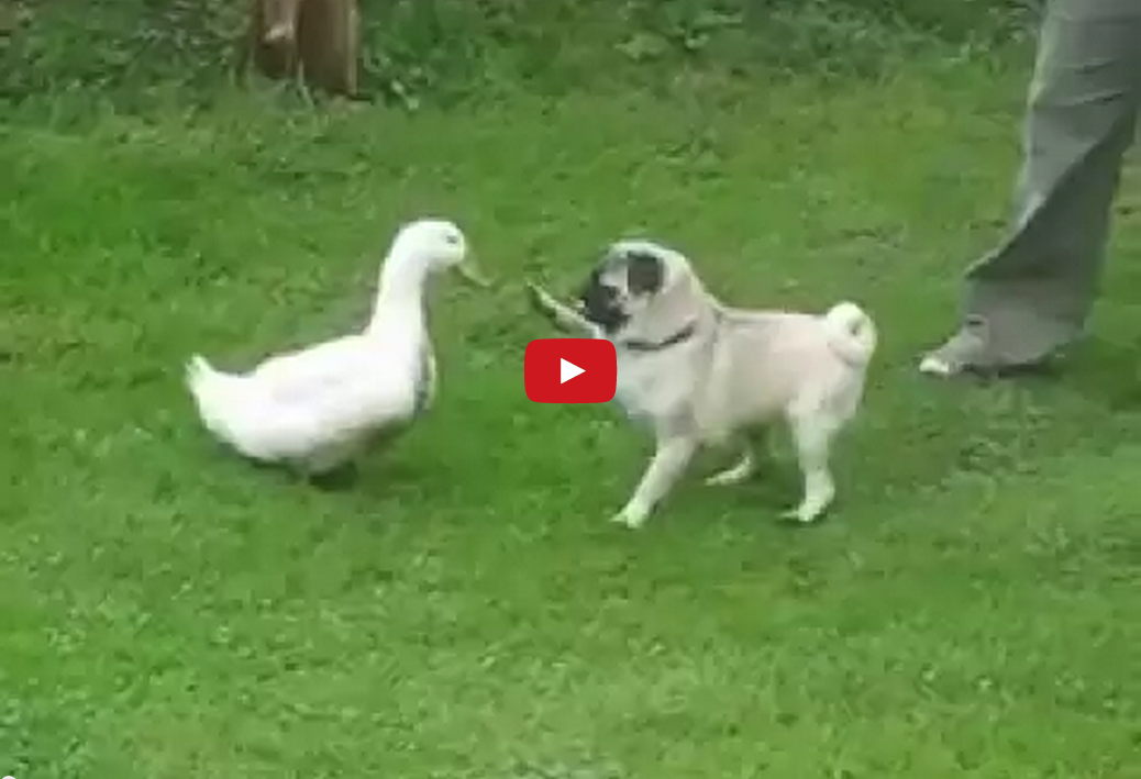 This Confrontation Between Pug and Duck Quickly Goes from Hostile to Friendly- It's Quite Cute!