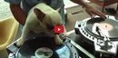 This Dog Can Spin Records Exactly Like His Human and It's Incredibly Impressive!