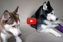 This Dog Doesn't Want To Share And His Friend Has A Lot To Say About It!