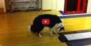 This Dog Exploring the Mysteries of Bowling Will Have You in Stitches! He is TOO Funny!!