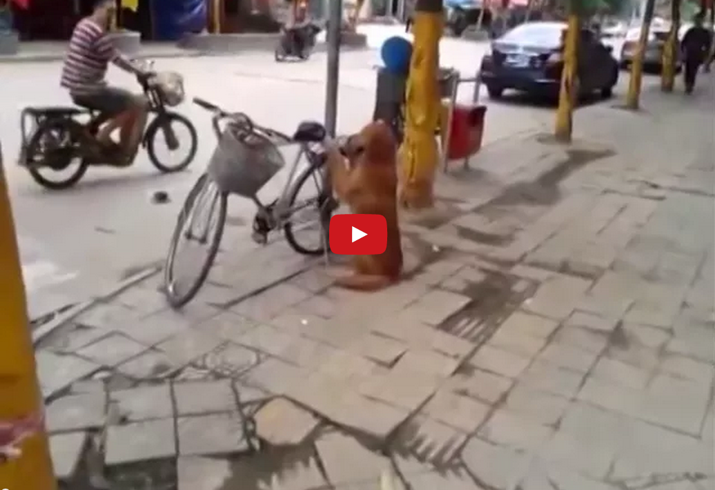 This Dog is a Cyclist's Best Friend- He's Absolutely Incredible!!