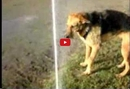This Dog Knows the True Meaning of Perseverance- Watch Him Drink Straight from the Sprinkler!!