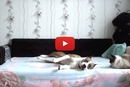 This Dog Wasn't Allowed on the Bed, Watch What Happens When His Owner Leaves!