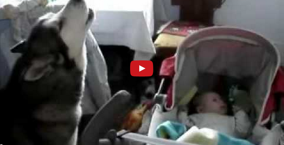 This Dog Wins Parent of The Year! Watch This Amazing Dog Calm A Crying Baby!!