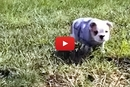 This English Bulldog Puppy Has An Adorable Hobby!