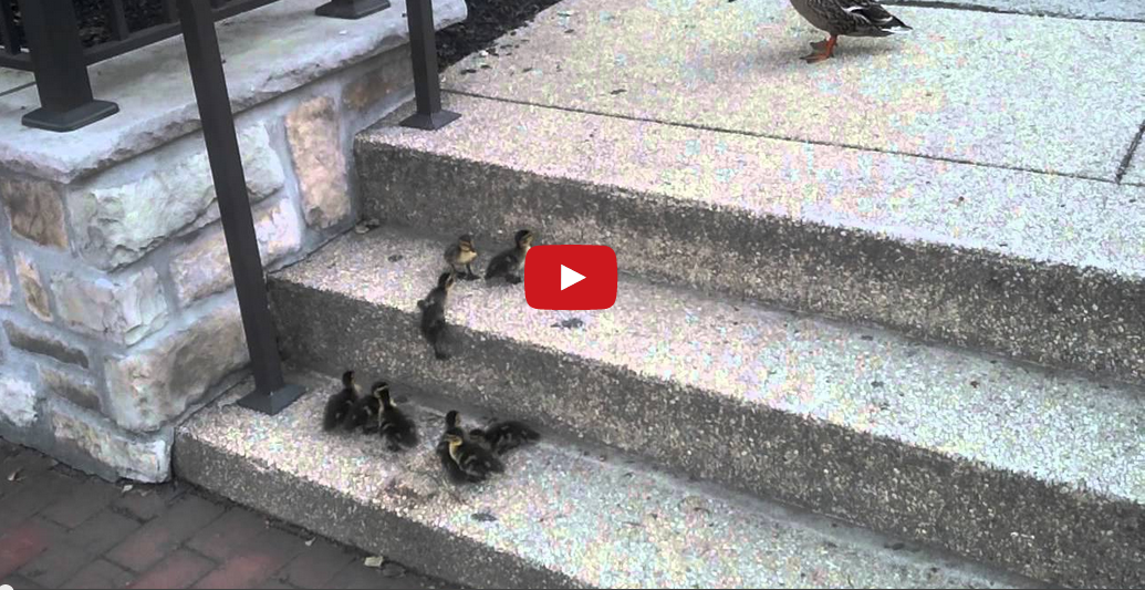 This Family of Baby Ducklings Trying to Climb Stairs Will Make Your Day Complete!
