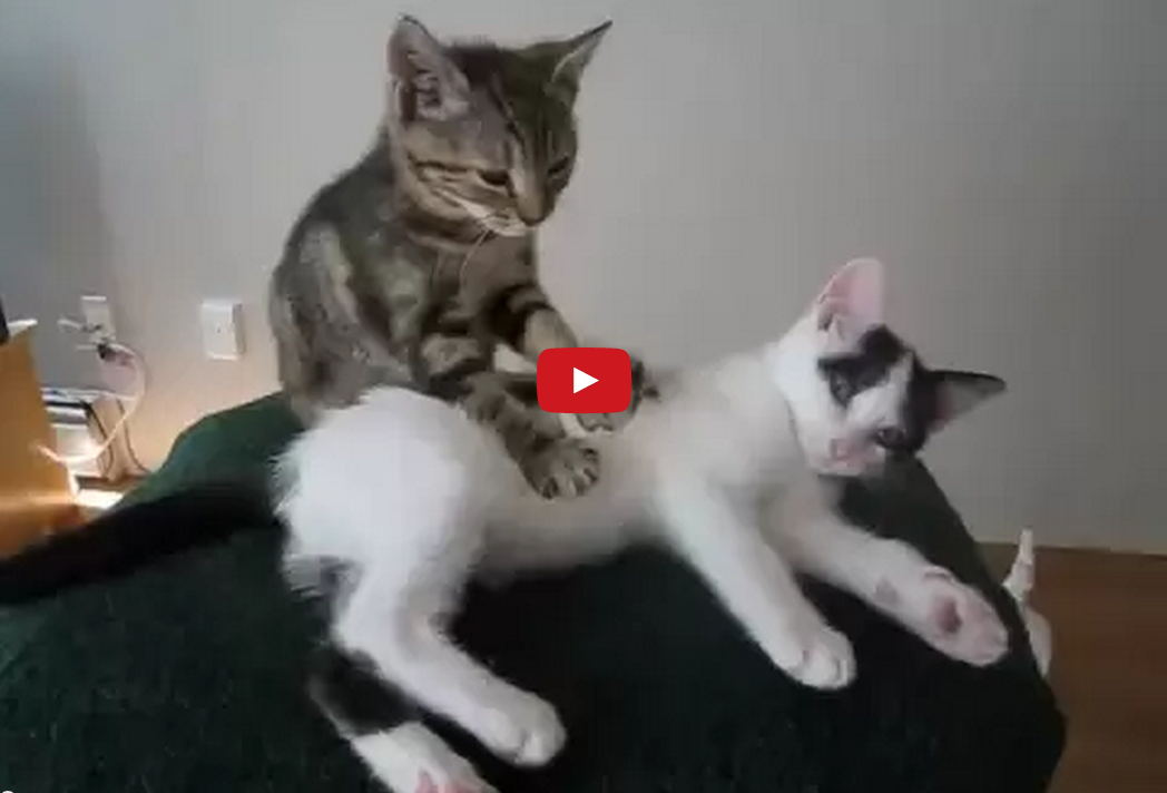 This Feline Masseuse is Good at His Job and Knows that Hard Work is its Own Reward!!