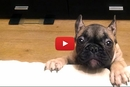 This French Bulldog Gets Adorably Mad When She Can't Get on the Couch!