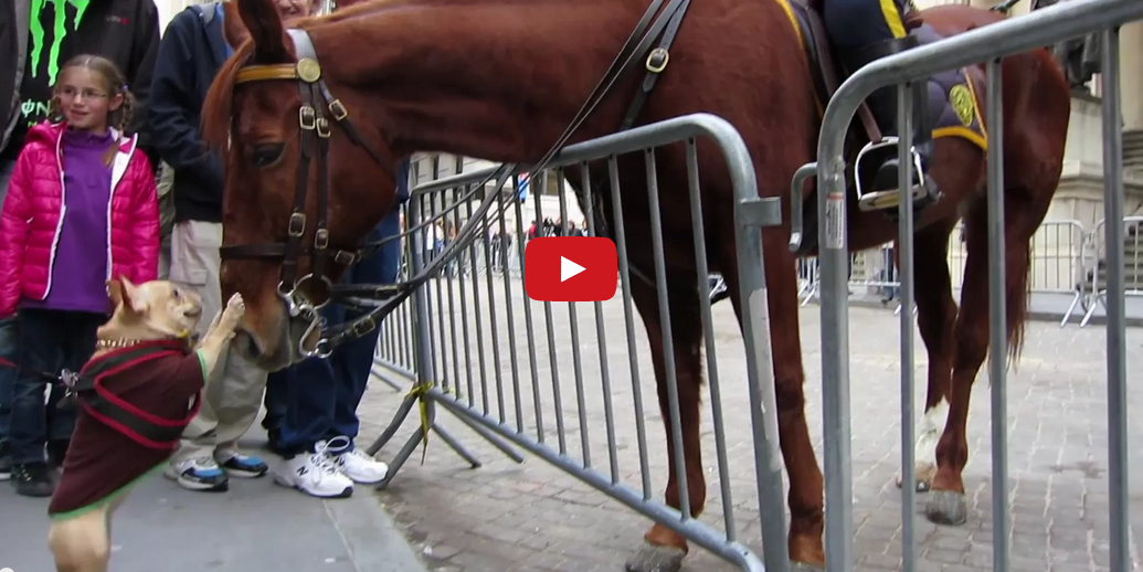 This French Bulldog is Crazy About This Police Horse! Too Cute!!