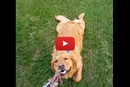 This Golden Retriever Hilariously Forgot How to Play Tug of War!