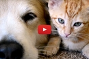 This Golden Retriever Loves Cuddling With His Kitties!