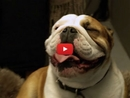 This Happy Bulldog Gets an Amazing Kennel Makeover When His Family Goes on Vacation!
