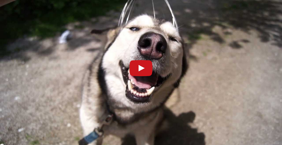 This Hilarious Husky LOVES Having His Head Scratched!!