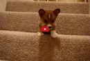 This Inspiring Corgi Goes Down the Stairs for the First Time- And it's Adorable!