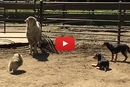 This Little Dog Unleashes His Inner Herding Dog... And It's TOO Cute!