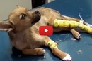 This Puppy Was On The Verge Of Dying, Until Dr. Karri Saved His Life