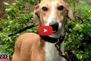 This Rescued Greyhound Goes From Shy, To Loving And Happy!