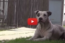This Starving Homeless Pitbull Finds Solace in These Two Amazing Humans!
