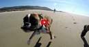 This Two-Legged Boxer Visits the Beach for the First Time and It's Absolutely Wonderful!