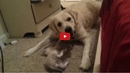This Video of a Rescued Retriever Playing with a Kitten Will Warm Your Heart!!