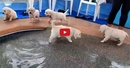 This Video of Puppies Learning to Swim is the Cutest Thing You Will Ever See!