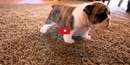 This Video of Puppies Learning to Walk is Too Cute! I Could Watch It ALL DAY!!