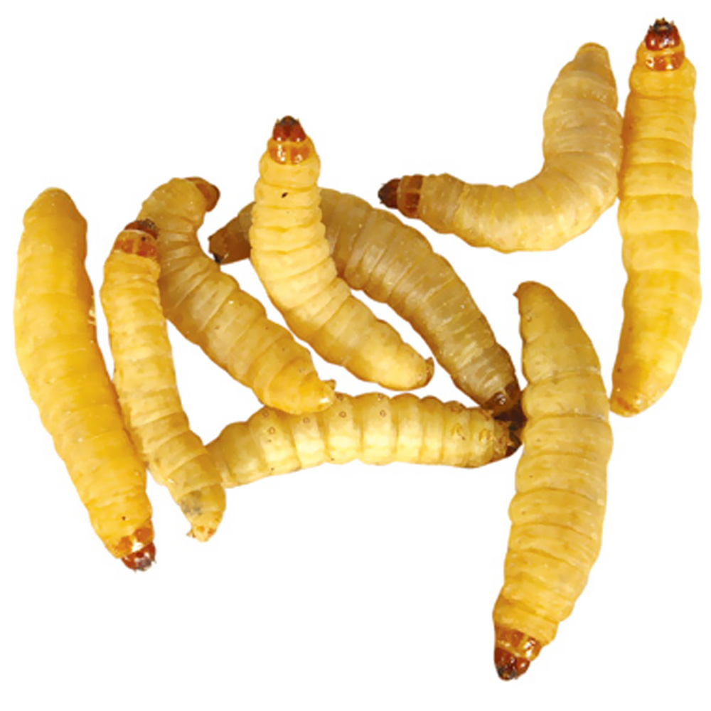 Timberline Wax Worms (250 count)